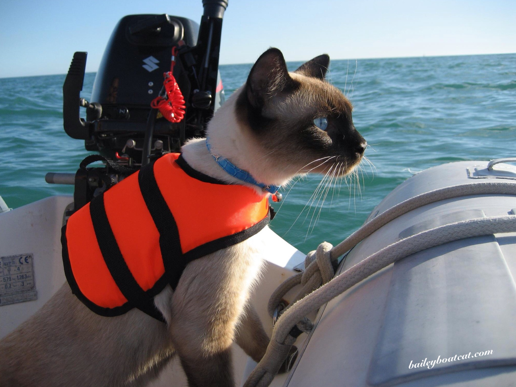 Siamese Cat Video Sail