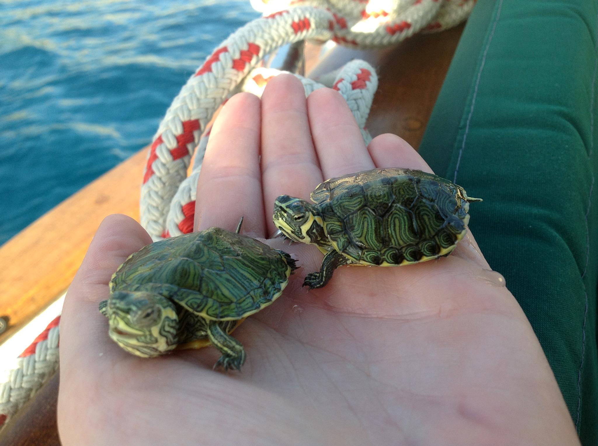 Best Turtle Pet : My pet ninja turtles! - Bailey Boat Cat
