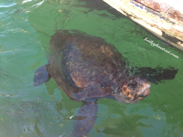 Turtle in Greece