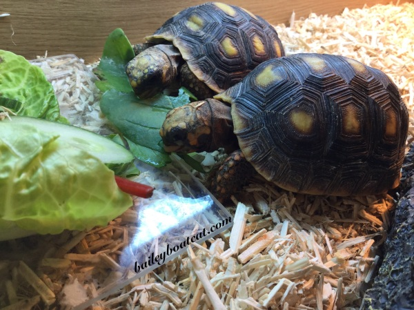 Red footed tortoises