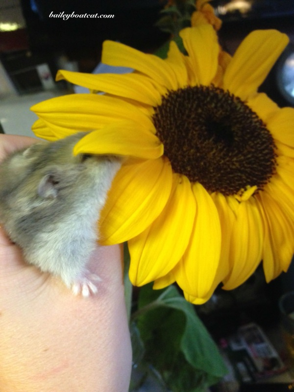 Bisque in the sunflower