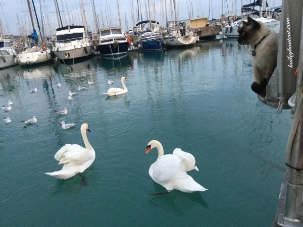 Chilling with the swans