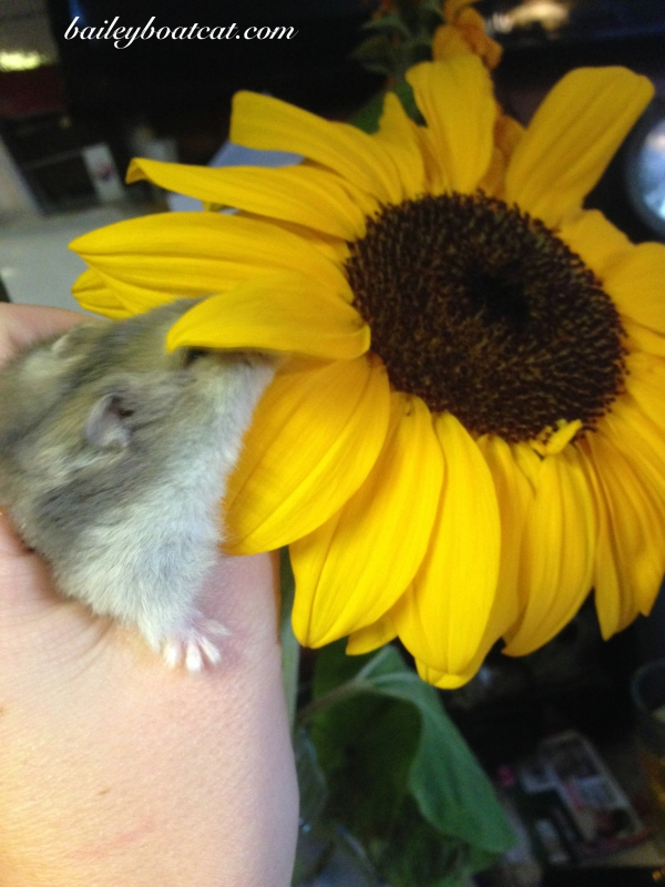 Bisque Sunflower