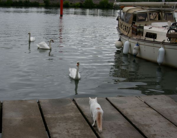 Scurvy and swans