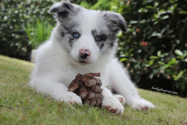 April Blue and Pine Cone