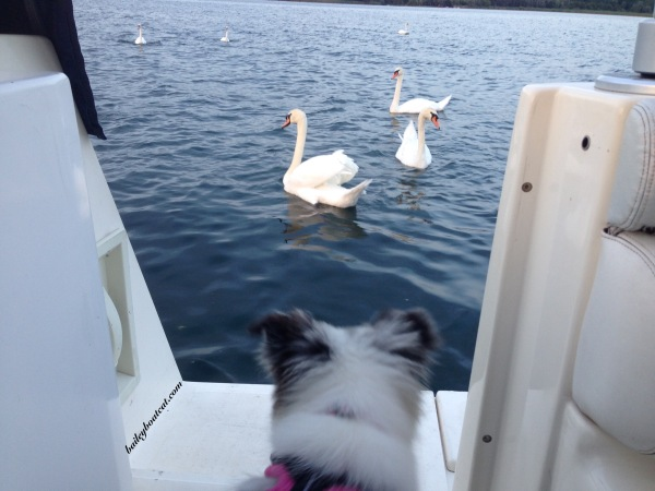 April and swans