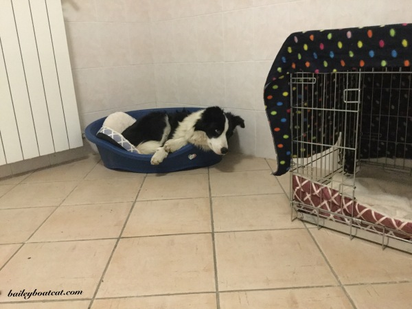 Blue in the dog den