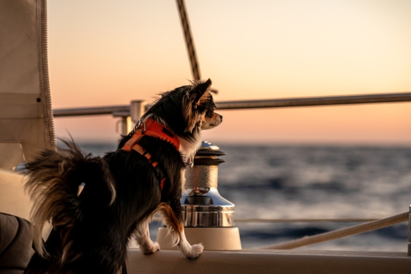 Chihuahua at sea